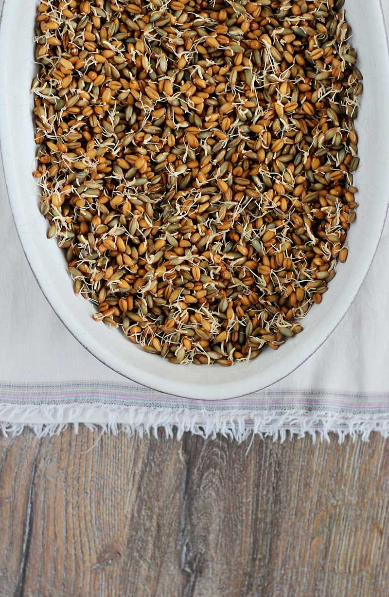 Sprouted-wheat-berries